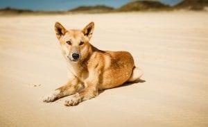 Dingo Fraser Island