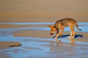 Dingo Puppy on Fraser Island