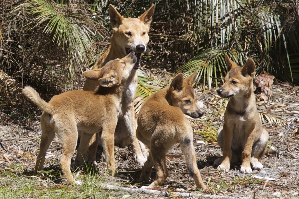 Dingoes14 2